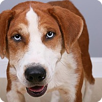 Boxer Mix Dog for adoption in Cincinnati, Ohio - Blue
