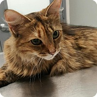 Domestic Longhair Cat for adoption in New York, New York - Strawberry