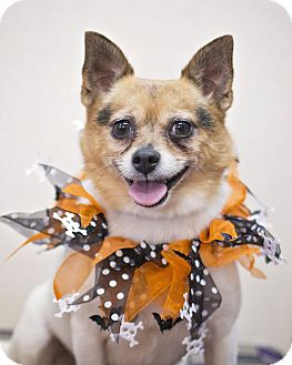 Chihuahua/Pomeranian Mix Dog for adoption in Sterling, Kansas - Pumpkin