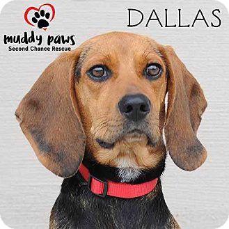 Beagle/Hound (Unknown Type) Mix Dog for adoption in Council Bluffs, Iowa - Dallas