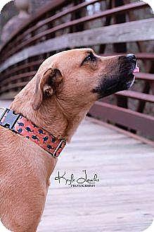 Rhodesian Ridgeback/Retriever (Unknown Type) Mix Dog for adoption in greenville, South Carolina - Brennan