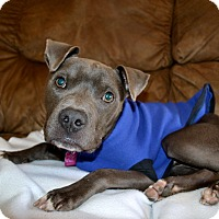 Boxer/Bulldog Mix Dog for adoption in Milwaukee, Wisconsin - WILSON