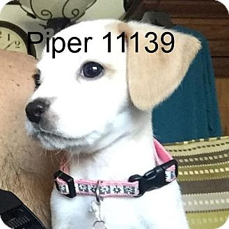 Beagle/Chihuahua Mix Puppy for adoption in baltimore, Maryland - Piper
