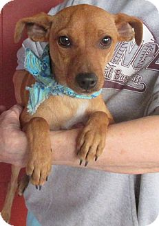 Fox Terrier (Smooth)/Chihuahua Mix Dog for adoption in Bay Springs, Mississippi - S1037   Sasha