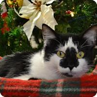 Adopt A Pet :: Cookie - Lebanon, MO