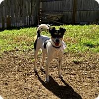 Rat Terrier Mix Dog for adoption in San Antonio, Texas - Cupcake