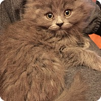 Adopt A Pet :: Giggles - Butner, NC
