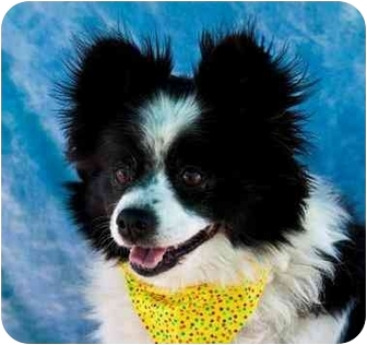 Pomeranian Dog for adoption in Mesa, Arizona - Minnie Mouse