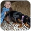Photo 3 - Miniature Pinscher Dog for adoption in Florissant, Missouri - NuNu