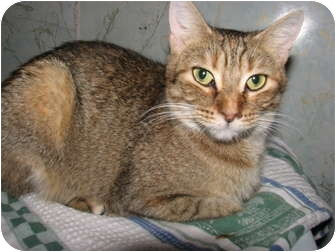 Domestic Shorthair Cat for adoption in Oxford, New York - Josie