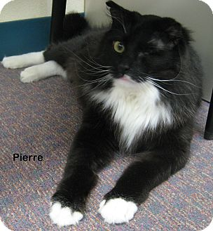 Domestic Mediumhair Cat for adoption in Portland, Oregon - Pierre