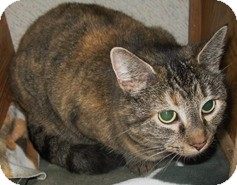 Domestic Shorthair Cat for adoption in Shelton, Washington - Tiger