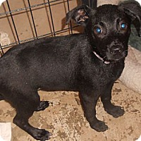 Adopt A Pet :: Terrier Mix puppy - Aloha, OR