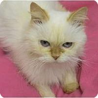 Adopt A Pet :: Saffron - Bonita Springs, FL