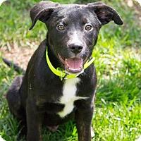 Adopt A Pet :: Colt - Millersville, MD