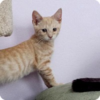 Domestic Shorthair Cat for adoption in Queens, New York - Lucas
