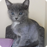 American Shorthair Kitten for adoption in Creston, British Columbia - Ian