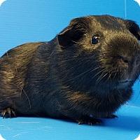 Adopt A Pet :: Bean - Lewisville, TX