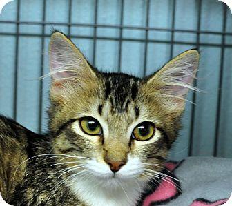 Domestic Shorthair Kitten for adoption in Tomball, Texas - Suri