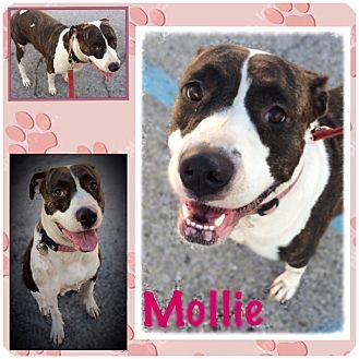 Boxer/American Bulldog Mix Dog for adoption in Fort Wayne, Indiana - Mollie