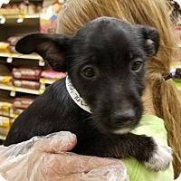Adopt A Pet :: Tess's Teaser - Las Vegas, NV