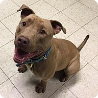 Adopt A Pet :: Balthazar- Ohio - Fulton, MO