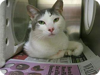 Domestic Shorthair Cat for adoption in Philadelphia, Pennsylvania - Sunshine