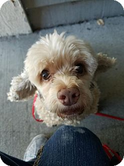 Poodle (Miniature) Dog for adoption in Fishers, Indiana - Ms. Cheeky