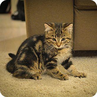 Domestic Mediumhair Kitten for adoption in Mississauga, Ontario, Ontario - Jacob