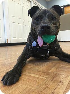 Shepherd (Unknown Type) Mix Dog for adoption in Oak Park, Illinois - Drake