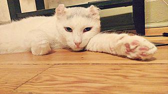 Domestic Shorthair Cat for adoption in Brooklyn, New York - Ragnar