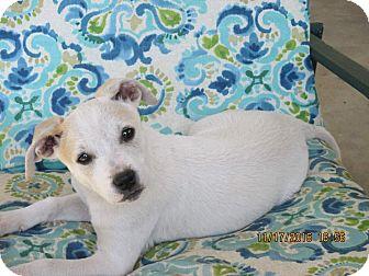 Boxer/Labrador Retriever Mix Puppy for adoption in West Springfield, Massachusetts - Kelli