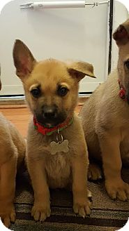 German Shepherd Dog/Retriever (Unknown Type) Mix Puppy for adoption in Detroit, Michigan - Pepperminstix-Adopted!