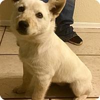 Adopt A Pet :: Polar - Phoenix, AZ