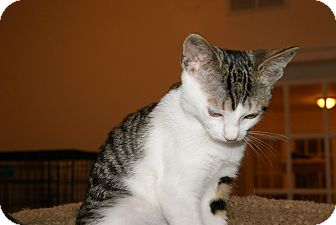 Domestic Shorthair Kitten for adoption in Trevose, Pennsylvania - Linen