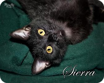 Domestic Shorthair Cat for adoption in Fort Mill, South Carolina - Sierra 4876F