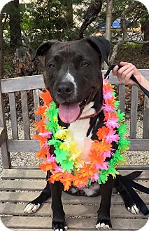 Labrador Retriever Mix Dog for adoption in Voorhees, New Jersey - Sadie