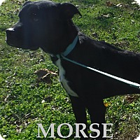 Adopt A Pet :: Morse - Batesville, AR