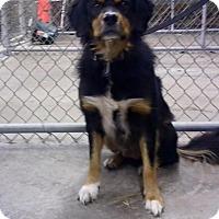 Adopt A Pet :: HAMBONE - Cadiz, OH