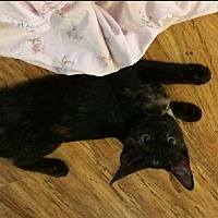 Domestic Shorthair Kitten for adoption in Woodland Hills, California - Sasha 2