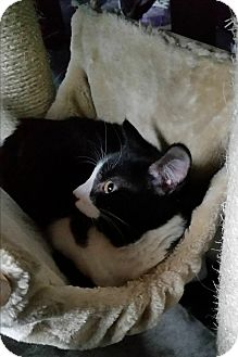 Domestic Shorthair Kitten for adoption in Berkeley Hts, New Jersey - Rocky