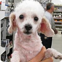 Adopt A Pet :: Juju - Rocky Mount, NC