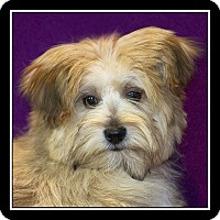 Adopt A Pet :: Scottie - San Dimas, CA
