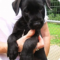 Adopt A Pet :: BACARDI - Lincolndale, NY