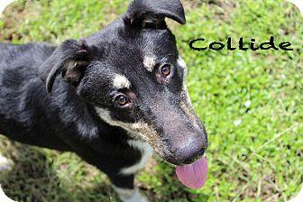 Shepherd (Unknown Type)/Husky Mix Dog for adoption in Texarkana, Arkansas - Collide