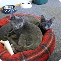 Domestic Shorthair Kitten for adoption in Quincy, California - LIttle Ricky & Desi