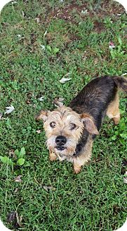Terrier (Unknown Type, Medium)/Yorkie, Yorkshire Terrier Mix Dog for adoption in Aurora, Colorado - Bo