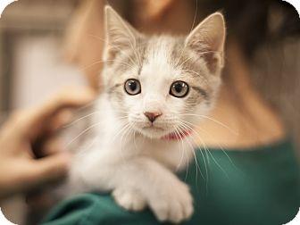 Domestic Shorthair Kitten for adoption in Dallas, Texas - Jane