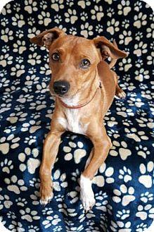 Chihuahua Mix Dog for adoption in Yucaipa, California - Civic