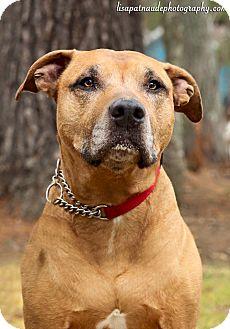 Labrador Retriever Mix Dog for adoption in Acushnet, Massachusetts - Buddy